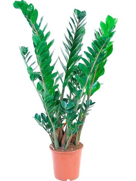 Grünpflanzen Für Dunkle Räume : zimmerpflanzen f r dunkle r ume gl cksfeder zamioculcas ~ Michelbontemps.com Haus und Dekorationen