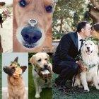 Hundstolle Hochzeitsidee: Der besondere Ringbote