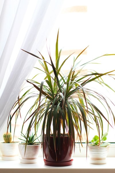 zimmerpflanzen f r dunkle r ume drachenbaum dracena. Black Bedroom Furniture Sets. Home Design Ideas