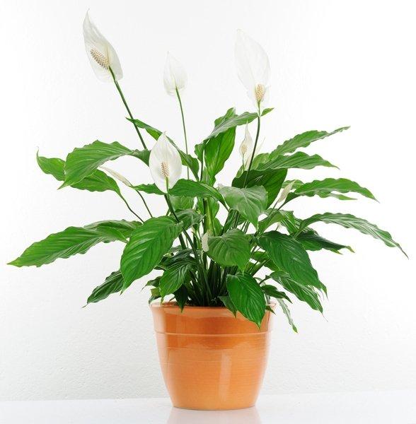 zimmerpflanzen f r dunkle r ume einblatt spathiphyllum. Black Bedroom Furniture Sets. Home Design Ideas
