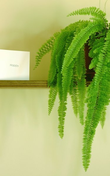 zimmerpflanzen f r dunkle r ume frauenhaarfarn. Black Bedroom Furniture Sets. Home Design Ideas