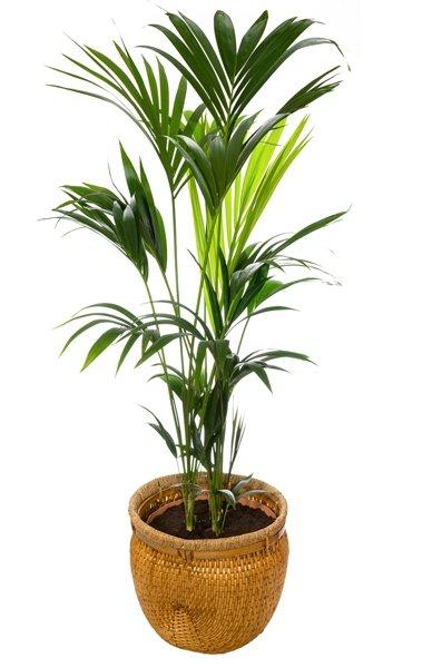 Zimmerpflanzen Für Dunkle Räume : zimmerpflanzen f r dunkle r ume kentia palme ~ Michelbontemps.com Haus und Dekorationen