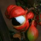 Neuer Superfood: Guarana