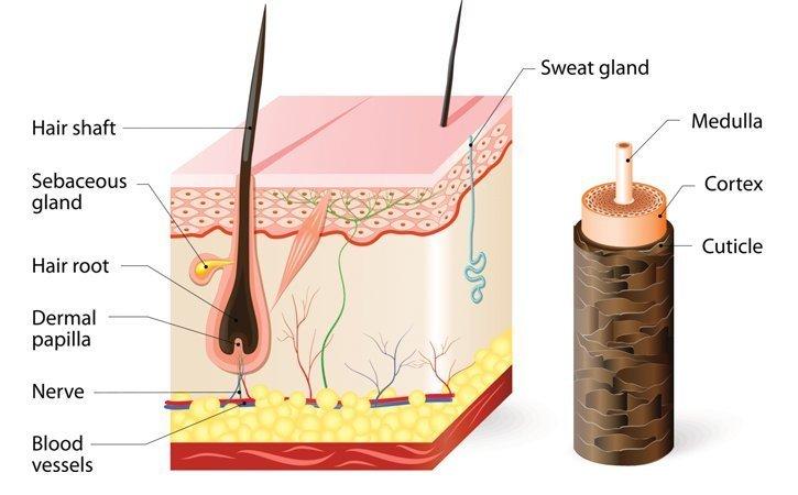 Um die richtige Haarpflege zu finden, sind ein paar Kentnisse der Haaranatomie nützlich.